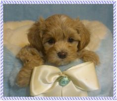 Welcome to Maltipoo FurBabies | Home of Adorable Pups