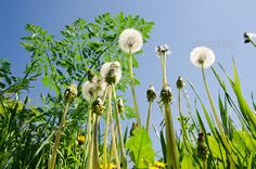 spring meadow with dandelions ... abstract, agriculture, air, background, ball, beauty, biology, blooming, blossom, blow, blue, bright, close, closeup, cloud, country, countryside, dandelion, day, ecology, flora, floral, flower, flying, fresh, freshness, grass, green, head, landscape, lawn, macro, meadow, natural, nature, outdoor, park, pasture, rural, scene, season, seasonal, seed, sky, spring, sunlight, sunny, up, white, wild