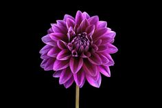 Purple Dahlia by Paul Coffin, via Flickr