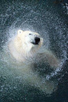 polar bear making waves