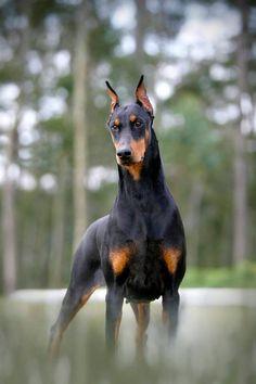 Le Dobermann Pinscher est un chien qui est apparu dans les années 1860-1870.  De taille moyenne, il est robuste, musclé, au poil court et lisse. Le Dobermann est l'exemple type du chien de gardiennage : il excelle dans les taches de surveillance et de protection de son maître. Il est doté d'un fort caractère, ce qui nécessite une éducation ferme. Excellent sportif, il a besoin de beaucoup d'activité. Il est également doux et sensible, très attaché à son maître.  #dog #chien #race #Dobermann