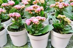 Caring for your Kalanchoe house plant, or Flaming Katy.