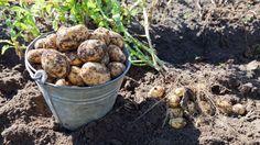 Opas pähkinänkuoressa: Viljelykierto ja kumppanuuskasvit
