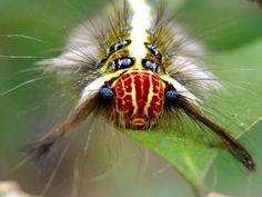 Rose Myrtle Lappet Moth Caterpillar - Trabala vishnou
