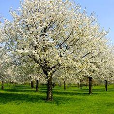 large pear tree