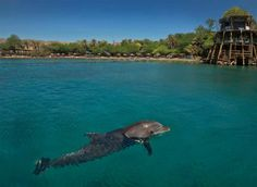 #Dolphins in Eilat, at the northern tip of the Red Sea...http://www.itstravel.co.uk/