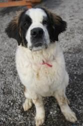 Mandy is an adoptable Saint Bernard St. Bernard Dog in St. Catharines, ON. Mandy, 6months-1year, Female, St. Bernard  Hi, I'm Mandy, and I'm a big, goofy puppy! I love to run around and play, and I lo...