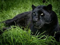 1000+ ideas about Black Panthers on Pinterest | Jaguar animal ...
