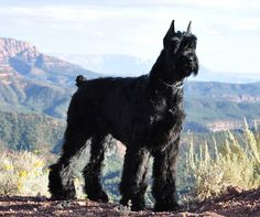 Schnauzer Gigante o Giant Schnauzer Schnauzers, Schnauzer Dogs, Mini Schnauzer, Pet Dogs, Dogs And Puppies, Dog Cat, Doggies, Pets, Giant Shnauzer