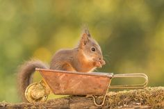 young red squirrel standing in a wheelbarrow