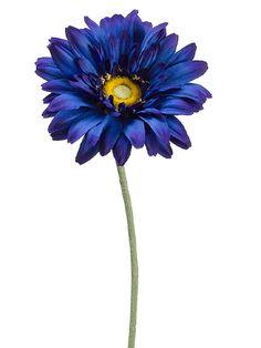 Blue Gerbera Daisy   Blue Wedding   Afloral.com