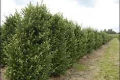 Ilex Crenata 'Dark Green' ®   Ilex crenata 'Dark Green'® er en smal opretvoksende stedsegrøn busk, som på grund af den tætte forgrening udmærket kan bruges som hækplante. De små ovale blade har en frisk grøn farve når de springer ud, og derefter bliver bladene mørkegrønne. De ubetydelige små hvide blomster og senere sorte bær er minimalistiske. I