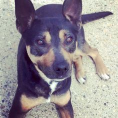 Ruby who is also off to rescue today :D #safeandsound#rescue #rescuedog #dontshopadopt#dog #newlife #happy #love#givesomuch #giveadogachance#somanyneedanewhome #adoption#pet #beautiful #bestfriend#mansbestfriend www.safe-and-sound.org