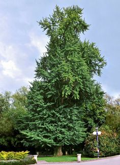 GINKGOBAUM-2 - Ginkgo biloba - Wikipedia, the free encyclopedia
