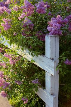 Lilacs on a white fence....feels like I can smell them from here.
