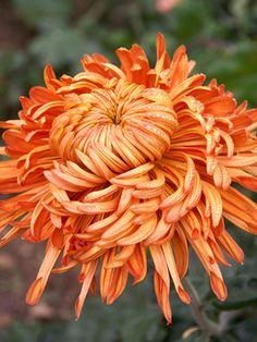 Amber Football mum Mum Cheerleader Football Chrysanthemum at… Fall Flowers, Love Flowers, Beautiful Flowers, Flowers Perennials, Planting Flowers, Football Mums, Coral Roses, Flower Farm, Autumn Garden