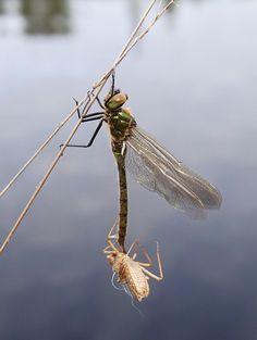 Juuri kuoriutunut sudenkorento