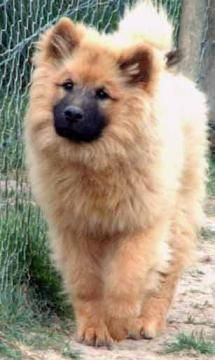 Eurasier dog photo | dogs alphabetically eurasiers eurasiers dogs back 21 of 27 next