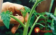 Pestujete paradajky a chcete mať skutočne bohatú úrodu tých najchutnejších letných paradajok? Mali by ste vedieť niekoľko zásad, ktoré vás k tomuto cieľu spoľahlivo privedú. Green Beans, Herbs, Gardening, Vegetables, Plants, Flowers, Garten, Balcony, Herb