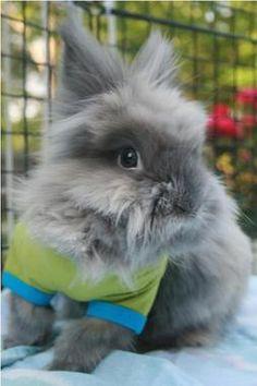 lionhead bunny :)