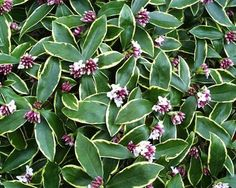 Daphne Odora (Winter Daphne) has striking evergreen variegated foliage and its very fragrant flowers start blooming in late January and can last through March. Plant these plants near a pathway or entrance where their fragrance can be enjoyed in winter. Winter Plants, Winter Flowers, Winter Garden, Evergreen Garden, Evergreen Shrubs, Fairy Garden Plants, Shade Garden, Foundation Planting, Winter Vegetables