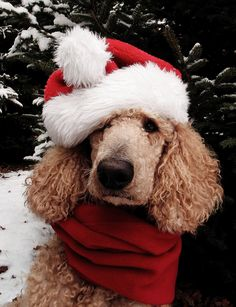 """Willy is ready for Christmas! - Photo taken by Marie Elizabeth@Pinterest"" #dogs…"
