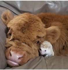 ~Pet Pics I Like~|Cow Cuddles Hedgehog|Just a highland cow and a hedgehog having a cuddle|Source:9GAG.com|-Oh my goodness, these two are just too sweet for words, aren't they?