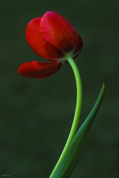 blooms-and-shrooms:  Charming Red by -clicking- on Flickr.
