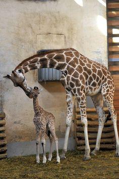 A baby Rothschild Giraffe with mom