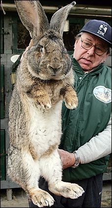 Breeder Karl Szmolinsky and Robert, a 23-pound German gray giant, in Eberswalde, Germany.  In 2006, Szmolinsky was approached by the North Koreans to help start a rabbit breeding program to help 'feed the population'. Robert and company were shipped off to Korea but rumor has it that they may have been eaten at a banquet for Kim Jong-il. by Craig Whitlock, washingtonpost and hoax-slayer. Photo by Sean Gallup. #Rabbit #Karl_Smolinsky #Craig_Whitlock #Sean_Gallup