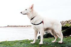 Lyra, white GSD