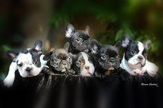 bulldog frances - Buscar con Google