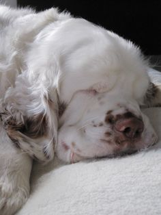 Baby Archie ~ Clumber Spaniel ~ Classic Look Rescue Dogs, Pet Dogs, Dog Cat, Doggies, Charles Darwin, Cute Puppies, Dogs And Puppies, Baby Animals, Cute Animals