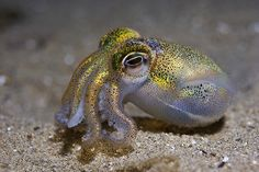 fuckyeahaquaria: Southern Dumpling Squid | Euprymna tasmanica  (photo by Cal Mero)