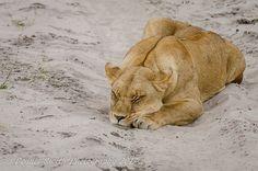 Just lion around. Wilderness, Safari, Lion, Camping, Canvas, Pictures, Animals, Wildlife Nature, Leo
