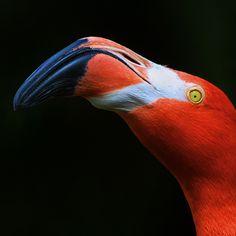 Flamingo (Phoenicopterus ruber), Sea World . Foto Flamingo, Flamingo Art, Pink Flamingos, Beautiful Creatures, Animals Beautiful, Flamingo Painting, Bamboo Art, Most Beautiful Birds, Ostriches