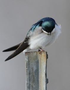 Bowing Tree Swallow - we have these in our yard every spring.  They are so beautiful to see.