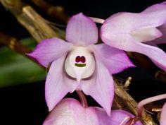 Dendrobium aduncum