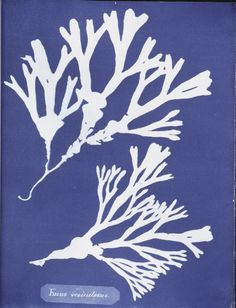 Fucus vesiculosus.  1843-1853 - Photographs of British algae: cyanotype impressions.