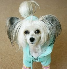 chinese crested - Google Search