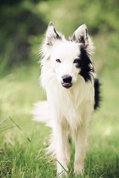 Stunning Border Collie. Very striking photo and face except for that cheeky tongue!