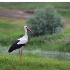 Gólya Bald Eagle, Birds, Animals, Animales, Animaux, Bird, Animal, Animais