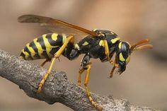 http://calcoasttermite.com/wasp-0071.jpg