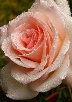 Peach coloured rose!
