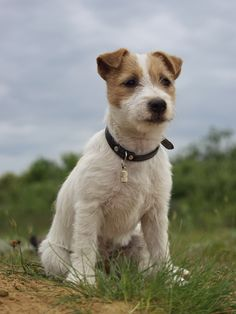Jack Russell Terrier - Train your JRT to sit.
