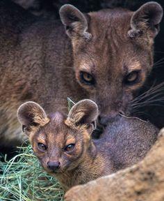 Fossa Cat mum and baby