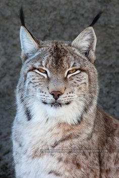 Lynx by Sergey Skleznev - Photo 68050849 - 500px