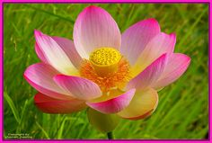 美属维尔京盛开 by shaman_healing, via Flickr