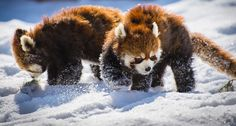 Red Panda's in the snow
