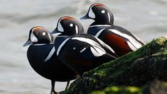 Harlequin Ducks Male Harlequin Ducks are so strongly patterned that it's very difficult to mistake them for anything else. Image © Jim Paris